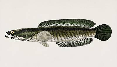 Painting - Striped Snakehead  Channa Striata  Illustrated By Charles Dessalines D  Orbigny  1806 1876  2 by Celestial Images