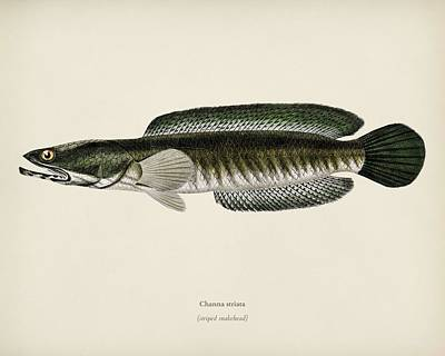 Painting - Striped Snakehead  Channa Striata  Illustrated By Charles Dessalines D Orbigny  1806 1876  by Celestial Images