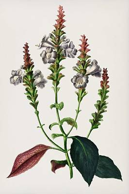 Painting - Strobilanthes Sabiniana Illustrated By Charles Dessalines D  Orbigny  1806 1876  by Celestial Images