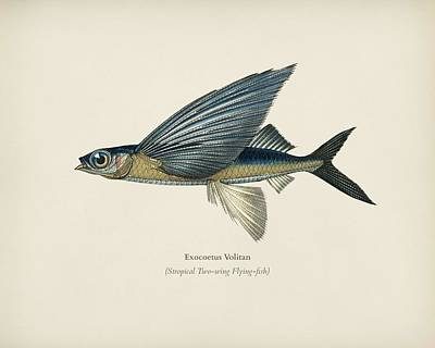 Painting - Stropical Two Wing Flying Fish  Exocoetus Volitan  Illustrated By Charles Dessalines D  Orbigny  180 by Celestial Images