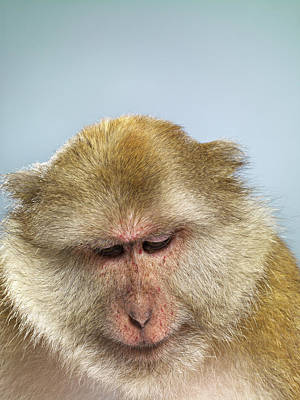 Disappointment Wall Art - Photograph - Studio Shot Of Macaque Monkey Looking by Jana Leon