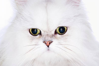 Photograph - Studio Shot Of White Persian Cat by Ultra.f