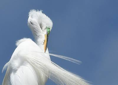 Photograph - Stylish Preening by Fraida Gutovich