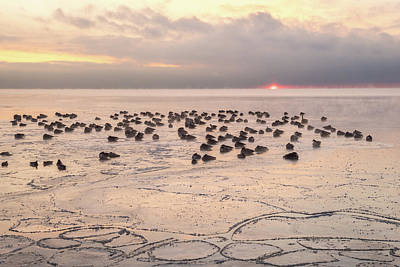 Photograph - Subzero Siesta - Canada Geese Napping On The Icy Lake Ontario by Georgia Mizuleva