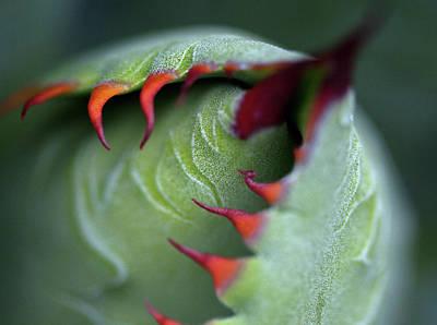 Photograph - Succulent Cactus Bud by John K. Goodman