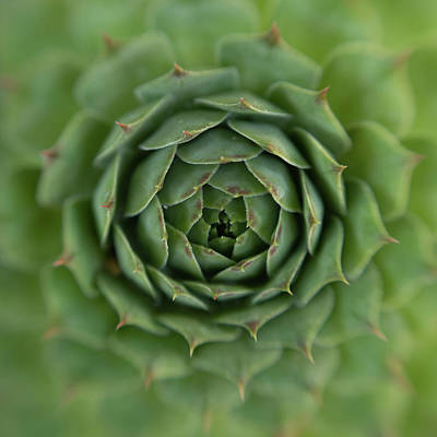 Wall Art - Photograph - Succulent by Stacy Honda