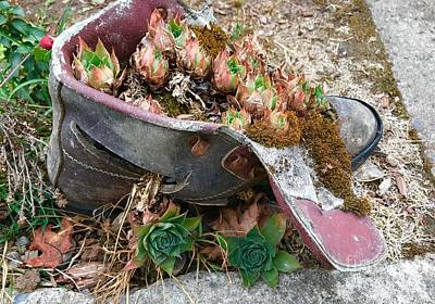 Photograph - Succulents In A Boot by Suzanne Lorenz