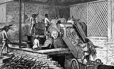 Sugar Cane Crushing Art Print by Hulton Archive