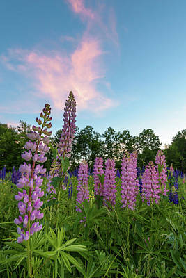 Photograph - Sugar Hill Lupines by Jesse MacDonald