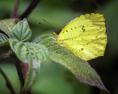 Photograph - Sulphur Butterfly Jardin Botanico Del Quindio Calarca Colombia by Adam Rainoff