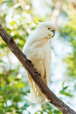 Animals Photos - Sulphur-Crested Cockatoo Bird by THP Creative