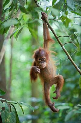 Photograph - Sumatran Orangutan Pongo Abelii One And by Suzi Eszterhas/ Minden Pictures