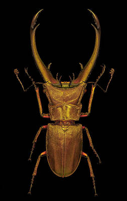 Photograph - Sumatran Stag Beetle by Gary Shepard