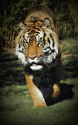 Photograph - Sumatran Tiger Face To Face by Elaine Malott