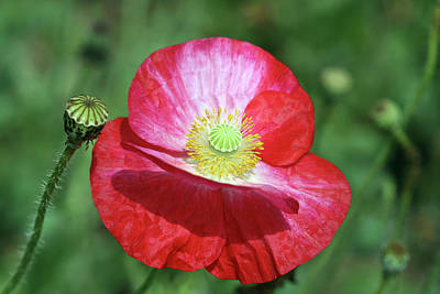 Photograph - Summer Poppy by Peg Toliver