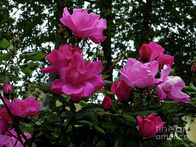 Photograph - Summer Roses by Phil Banks