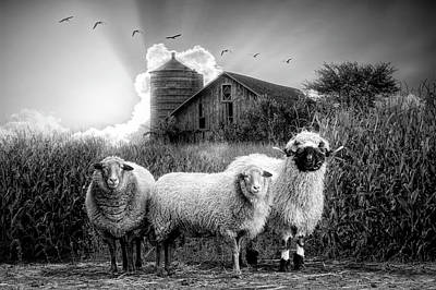 Photograph - Summer Sheep In Black And White by Debra and Dave Vanderlaan