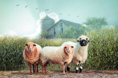 Photograph - Summer Sheep On A Misty Morning by Debra and Dave Vanderlaan