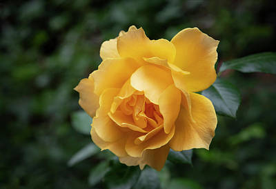 Photograph - Summers Yellow Rose by Steven Clark