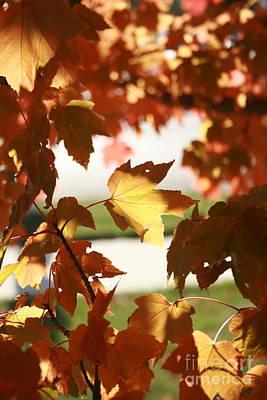 Photograph - Sun Dappled Maple Leaves by TJ Fox