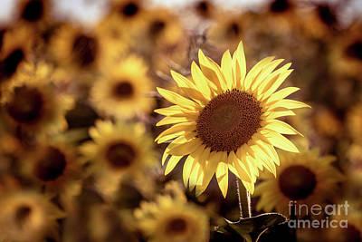 Photograph - Sun Flower by Kim Clune