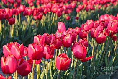 Photograph - Sun-kissed Red Tulips by Carol Groenen