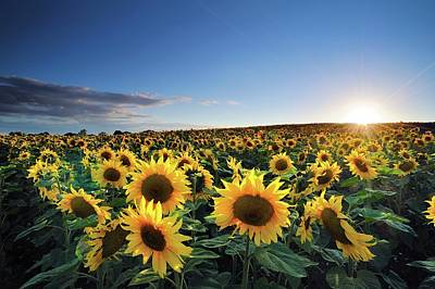 Photograph - Sun Setting Over Sunflower Field by Andreas Jones