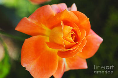 Photograph - Sun Summer Orange Rose by Joy Watson