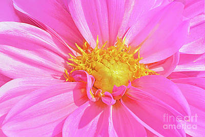 Royalty-Free and Rights-Managed Images - Sun Warmed Pink Dahlia Blossom by Regina Geoghan
