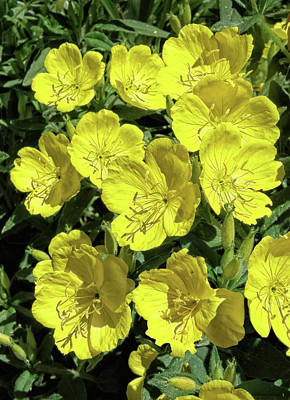 Photograph - Sundrops by Kathleen Bishop