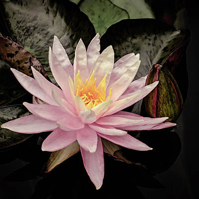 Photograph - Sunfire Hardy Waterlily by Julie Palencia