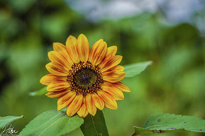Wall Art - Photograph - Sunflower 1 by James Fisher