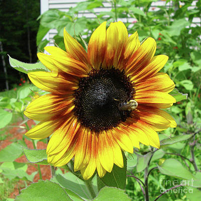 Photograph - Sunflower 20 by Amy E Fraser