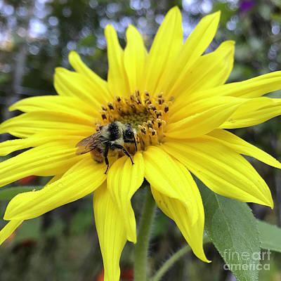 Photograph - Sunflower 24 by Amy E Fraser