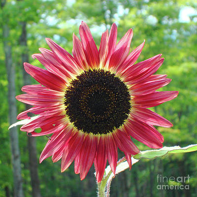 Photograph - Sunflower 26 by Amy E Fraser