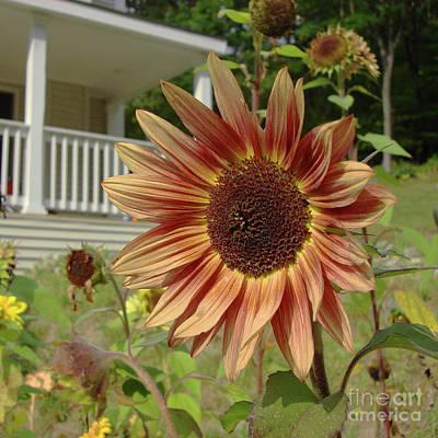 Photograph - Sunflower 29 by Amy E Fraser