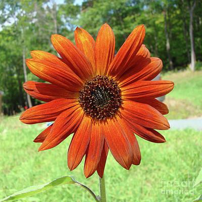 Photograph - Sunflower 31 by Amy E Fraser