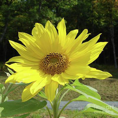 Photograph - Sunflower 33 by Amy E Fraser