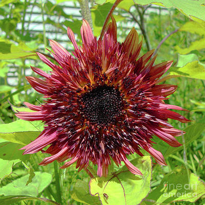 Photograph - Sunflower 34 by Amy E Fraser