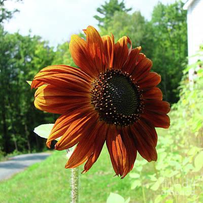 Photograph - Sunflower 37 by Amy E Fraser