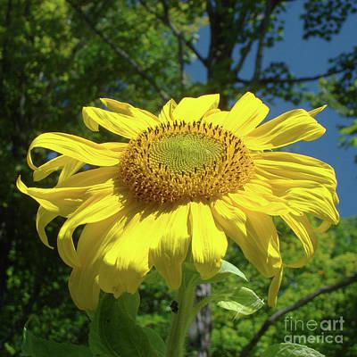 Photograph - Sunflower 38 by Amy E Fraser