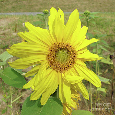 Photograph - Sunflower 40 by Amy E Fraser