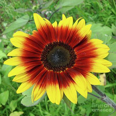 Photograph - Sunflower 43 by Amy E Fraser