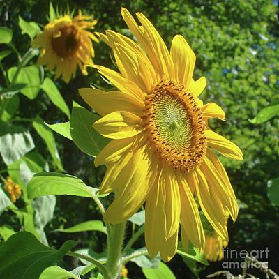 Photograph - Sunflower 44 by Amy E Fraser