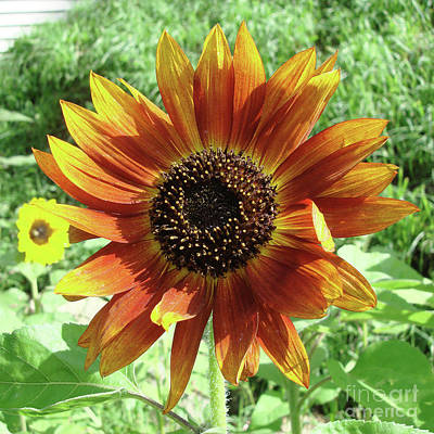 Photograph - Sunflower 45 by Amy E Fraser