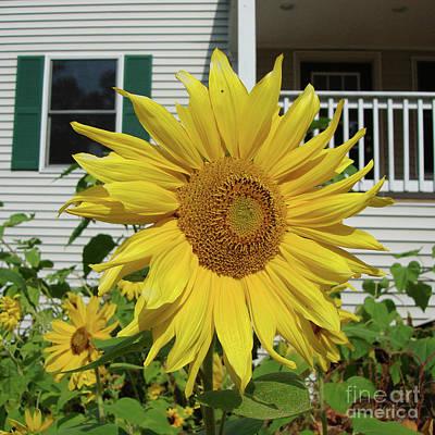 Photograph - Sunflower 46 by Amy E Fraser