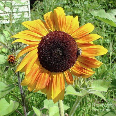 Photograph - Sunflower 47 by Amy E Fraser