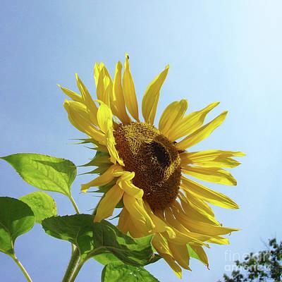 Photograph - Sunflower 48 by Amy E Fraser