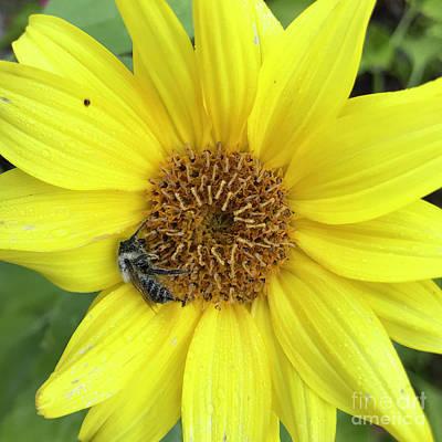 Photograph - Sunflower 49 by Amy E Fraser