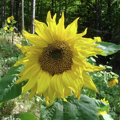 Photograph - Sunflower 51 by Amy E Fraser
